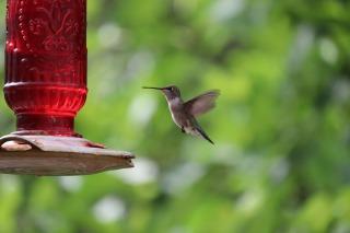 humming-bird-5052592_1920